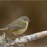Raymond Hsu - Orange-Crowned Warbler - HM - Digital Advanced Nature