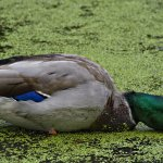 Robert Mongrain / Duck / HM / Digital Intermediate Nature