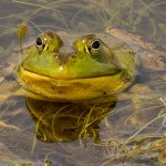 Garry Revesz - Bullfrog - 2nd - Digital Beginner Nature