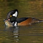 Robert Bohnert / Hooded Merganser With Fish / HM / Digital Advanced Nature