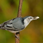 Carol Bohnert - White-Breasted Nuthatch With Food - HM - Digital Advanced Nature