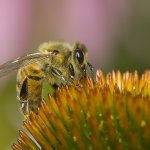 Joe Iocco - Honeybee 0N Coneflower - 2nd - Digital Advanced Nature