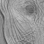 Omar Sheikh / Elephant Eye / HM / Digital Advanced Texture