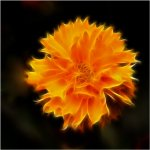Ron Manning / Glowing Coreopsis / HM / Digital Advanced Creative