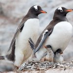 David Simmonds / Gentoo Penguin Family / 1st / Digital Advanced Nature