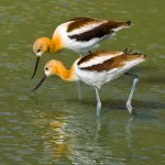 Sandra Hawkins - Avocet Pair - HM - Digital Advanced Nature