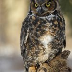 Leonie Holmes - Great Horned Owl #2 - HM - Level 2 Pictorial