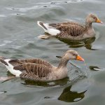 David Simmonds - Greylag Geese - HM - Level 2 Pictorial