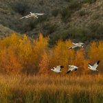 Tony Paine / Snow Geese At Bosque Del Apache / 3RD / Digital Intermediate Nature