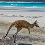 Lisa Husar / Kangaroo At Beach / HM / Digital Advanced Nature