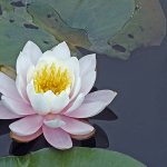 Uliana Yaworsky / Pink Water Lily / HM / Digital Intermediate Pictorial