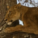 Ina Miglin - Lion On The Tree Watching Its Next Prey - 1st - Digital Intermediate Nature