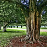 Marty Pinker - Ancient Yews at Hampton Court - 1st - Print Level 1 Trees
