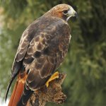 Don Meaker / Red-Tailed Hawk / HM / Digital Beginner Nature