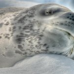 David Simmonds / Leopard Seal On Snow / 2nd / Digital Advanced Texture