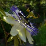 Rainer Rothfuss / Passion Flower / 3rd / Digital Intermediate Nature