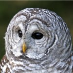 Rob Thorne - Barred Owl - 2nd Level 1 Pictorial