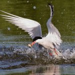 Stephen Balke - Tern With Fish - 1st - Digital Intermediate Nature