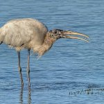 David Simmonds - Wood Stork With Snail - HM - Digital Advanced Nature