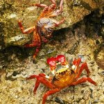Jennifer Fowler / Peruvian Rock Crabs / 2ND / Digital Beginner Nature