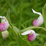 Hilary Callin - Lady Slippers - HM - Digital Beginner Nature