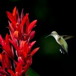Stephen Balke - Hummingbird And Canna Lily - 1st - Digital Beginner Things That Go Together