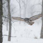 Joe Iocco - Great Grey Owl In Storm - 1st - Digital Advanced Nature