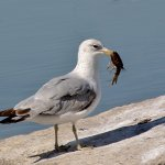 Robbie Robinson - Ring-Billed Gull With Crayfish - 1st - Digital Intermediate Nature