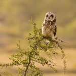 Sandra Hawkins - Short-Eared Owl - HM Level 2 Pictorial