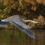 Carol Bohnert / Great Blue Heron In Flight / HM / Digital Advanced Nature