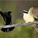 Raymond Hsu - The Face Off-Red Winged Black Bird And Great Kiskadee - 1st - Digital Advanced Nature