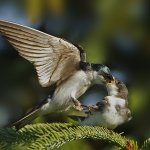 Carol Bohnert - Tree Swallow Feeding Chick - HM - Digital Advanced Nature