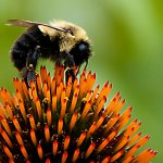 Pradipta Datta / Cone Flower Bee / 1st / Digital Beginner Nature
