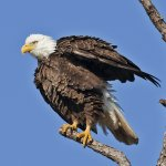 Carol Bohnert / Bald Eagle Rufflling Feathers / 2nd / Digital Advanced Nature
