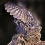 Ina Miglin - Saw Whet Owl With Its Prey - 2nd - Digital Beginner Nature
