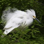 Ron Manning / Snowy Egret Fluffing / 2nd / Print Level 2 Pictorial