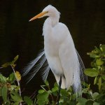 Rainer Rothfuss - Great Egret - 2nd - Level 2 Pictorial