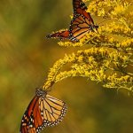 Robbie Robinson - Monarch Butterflies Feeding Before Migration - 3rd - Print Level 1 Pictorial