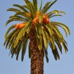 Myra P. Jones - Corfu Palm Tree - 3rd - Print Level 1 Trees