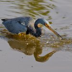 Stephen Balke - Tricolored Heron Fishing - 1st - Digital Beginner Nature