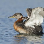 Joe Iocco - Red Necked Grebe And Chick - 2nd - Digital Advanced Nature