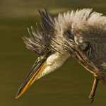 Robert Bohnert / Great Blue Heron Scratching / HM / Digital Advanced Nature