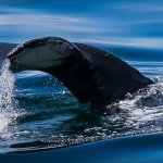 David Jackman - Humpback Whale Boston Harbour - 1st - Digital Beginner Nature