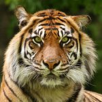 Garry Weiler / Sumatran Tiger / 1st / Digital Intermediate Nature