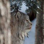 Holly Lumley / Canada Lynx 2 / HM / Digital Beginner Nature