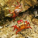 Jennifer Fowler / Crabs On Rocks / HM / Digital Beginner Nature