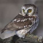 Ron Manning / Saw-Whet Owl / HM / Digital Advanced Pictorial