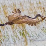 Bruce Peters / Limpkin With Snail / 1st / Digital Intermediate Nature