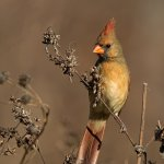 Stephen Balke - Cardinal Beauty - 1st - Digital Beginner Pictorial