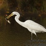 Carol Bohnert - Great Egret With Fish - HM - Digital Advanced Nature
